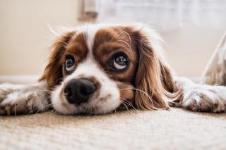 comment le chien attrape des vers symptomes