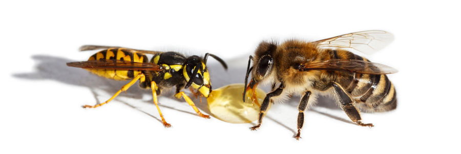 difference abeille et guepe