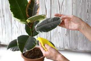 nettoyer feuille poussiere plante