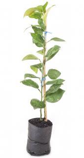 plantation citronnier yuzu