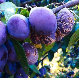 prune qui pourri sur arbre moniliose traitement