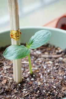 semis concombre
