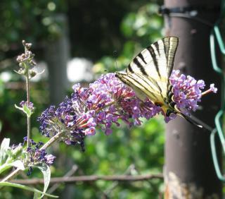 Arbre a papillons en pot