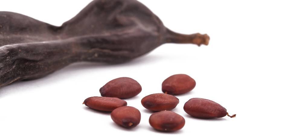 Caroube graine fruit utilisation