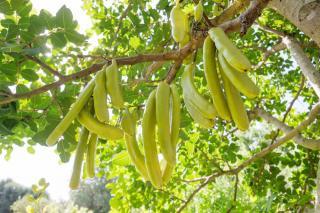 Caroubier fruit caroube entreten culture
