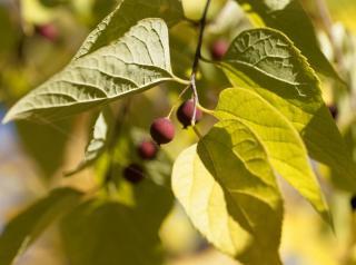 Fruit micocoulier - Celtis Australis