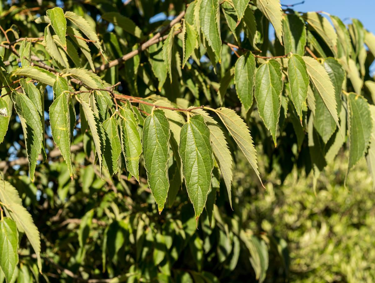 Miccocoulier de Provence - Celtis australis
