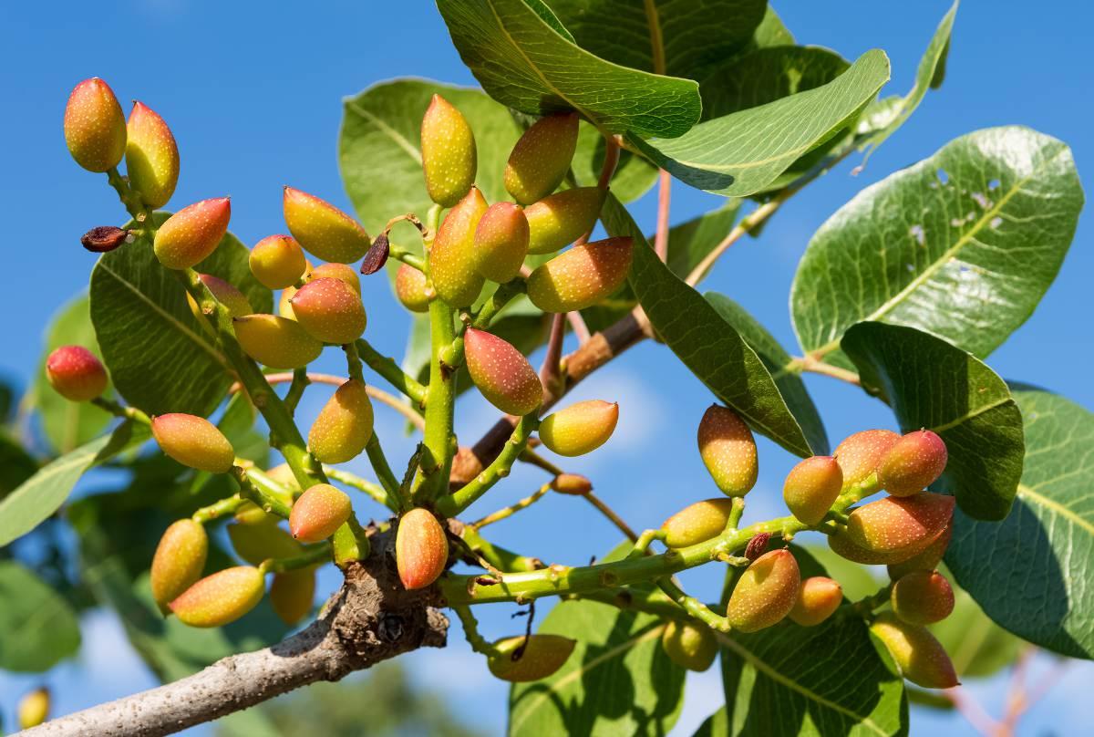 Pistachier pistacia - arbre a pistache