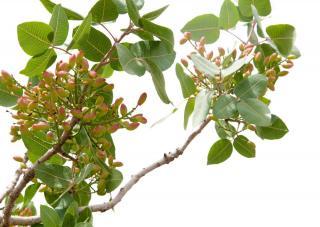 Pistachier pistacia entretien