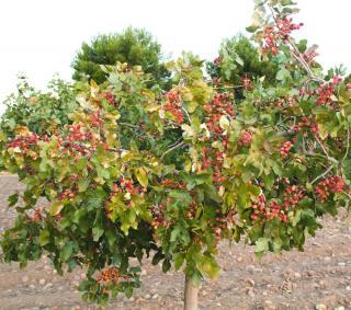 Pistachier pistacia plantation
