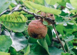 Pomme moisi pourri sur arbre maladie