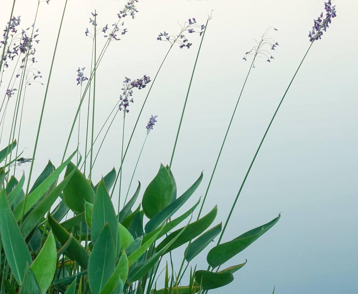 Thalia dealbata - Thalie blanche - canna d eau