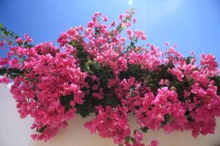 fleur pour balcon chaud ensoleille