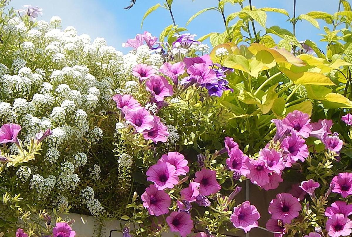 plante fleur balcon plein soleil sud