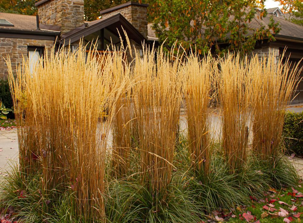 Calamagrostis plantation entretien