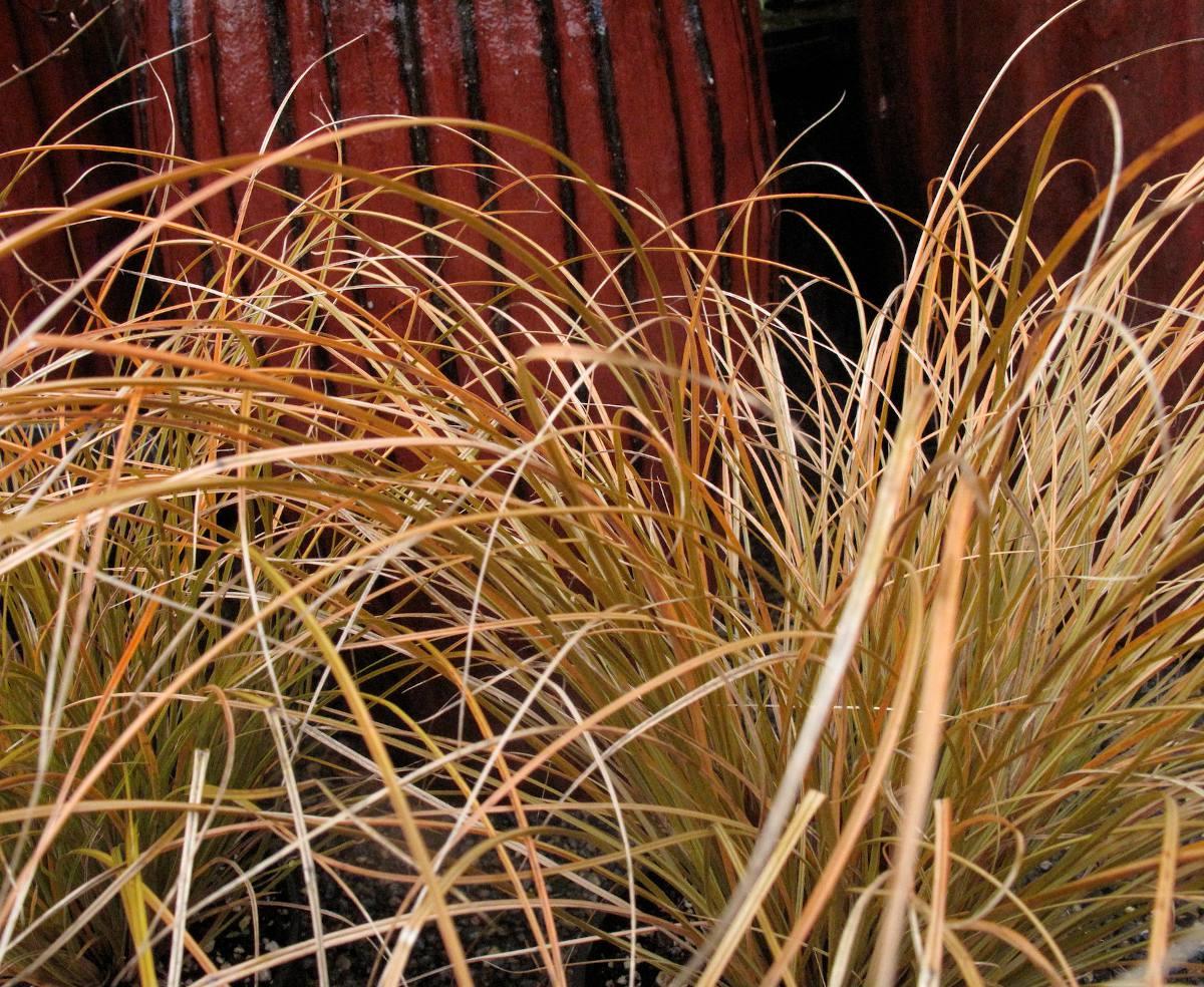 Carex testaceae