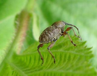Curculio nucum - balanin noisette - insecte