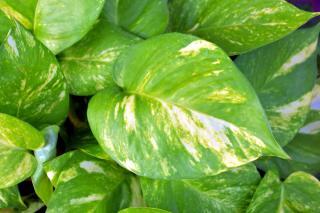 Epipremnum aureum feuilles jaunes