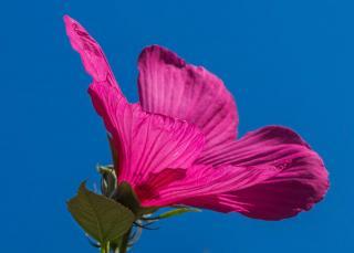 Hibiscus des marais