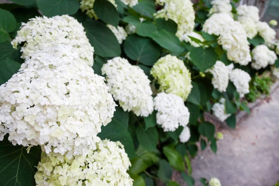 Hydrangea arborescens entretien