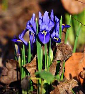 Iris reticulata entretien