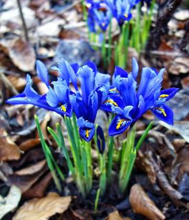 Iris reticulata plantation