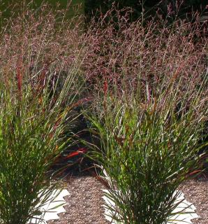 Panicum virgatum plante