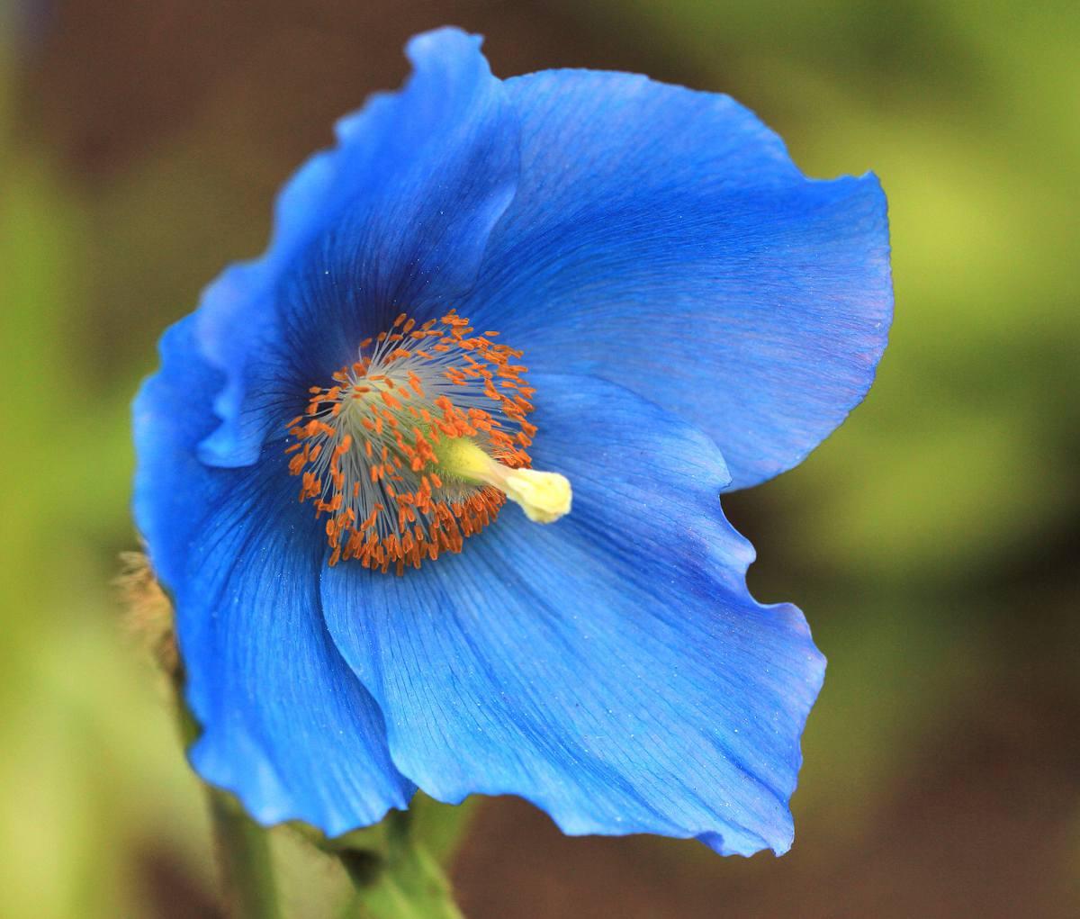 Pavot bleu de l'himalaya - Meconopsis betonicifolia