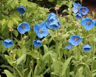 Plantation - Pavot bleu de l'himalaya - Meconopsis betonicifolia