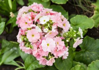 Plantation Primula japonica - primevere du japon