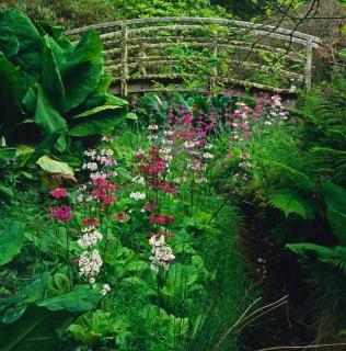 Primula japonica - primevere du japon - jardin eau
