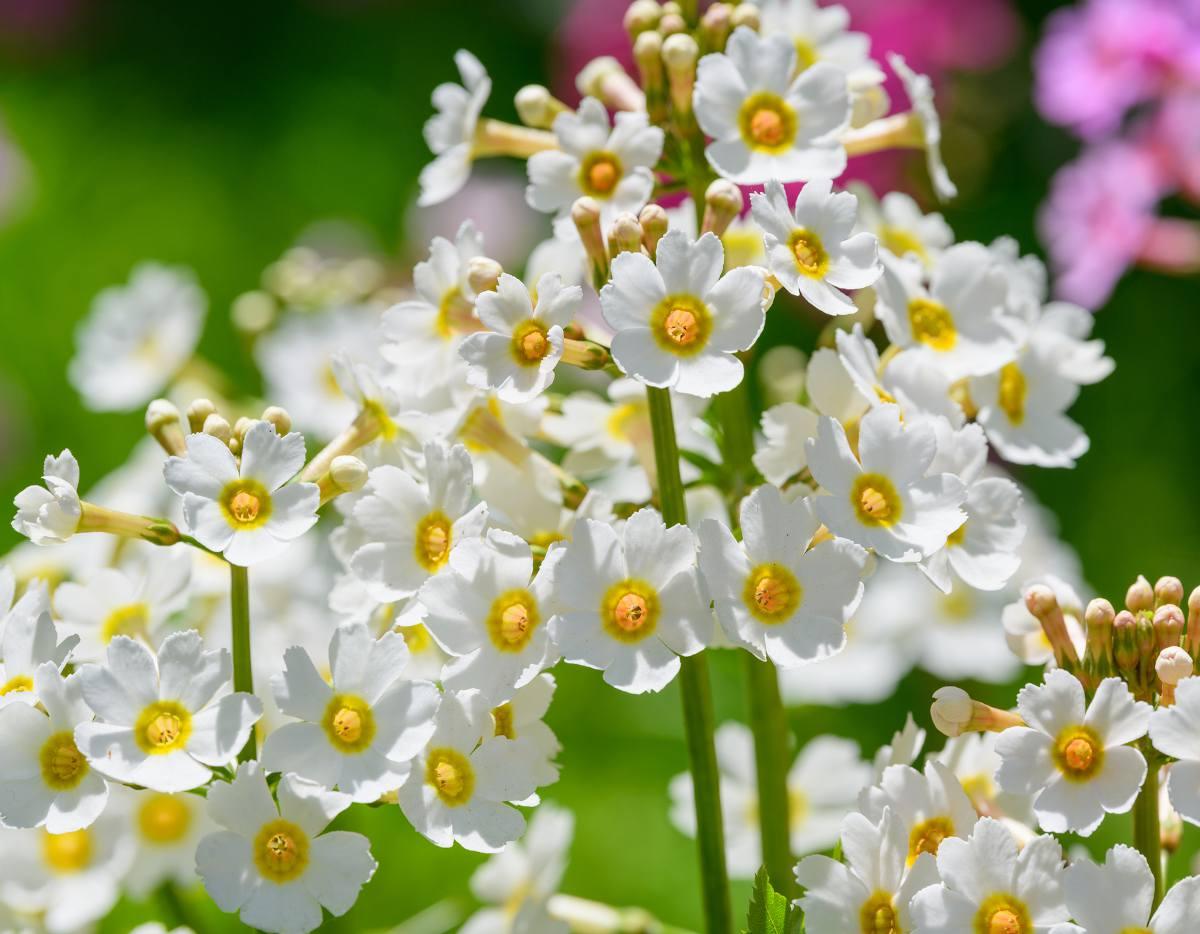 Primula japonica - primevere du japon