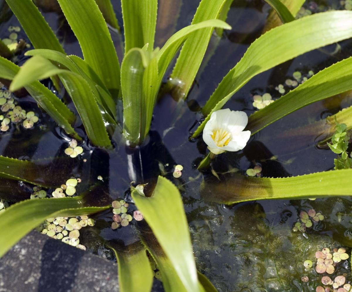 Stratiotes aloides - aloes d'eau