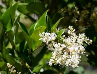 Troène du Japon- Ligustrum japonicum