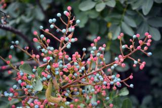 Troène du Japon- Ligustrum japonicum baie fruit