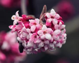 Viburnum viorne hiver parfum