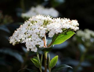 Viburnum x burkwoodii - viorne du burkwood