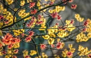arbuste a fleur parfumé hiver