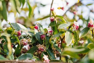 bois-joli - daphne odora en pot