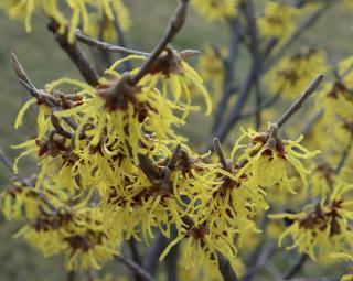 hamamelis arbuste parum hiver