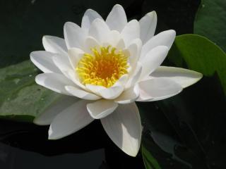 nenuphar nain - Nymphaea tetragona