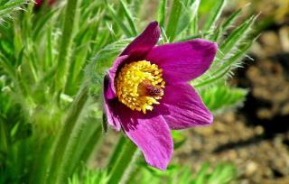 pulsatilla vulgaris - anemone pulsatille - Entretien