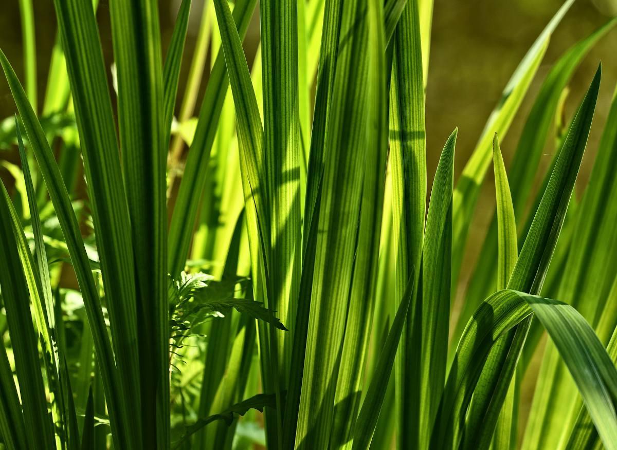 Acorus calamus - Acore odorant
