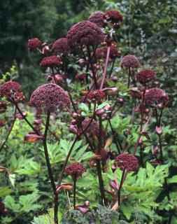 Angelica gigas – Angélique rouge à fleurs pourpres