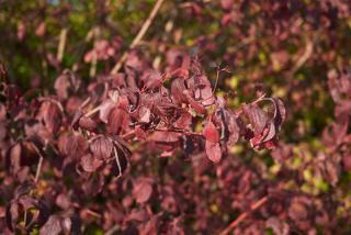 Cornouiller - Cornus sanguinea