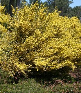 Cytisus sous un pin conifere