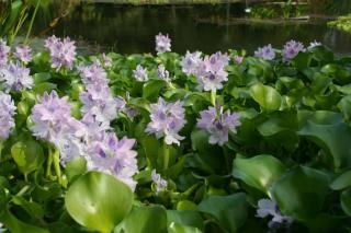Eichhornia crassipes en fleur bassin
