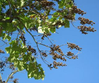 Entretien taille du Plantation du Paulownia tomentosa