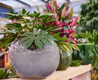 Fatsia japonica en pot - Aralia du Japon