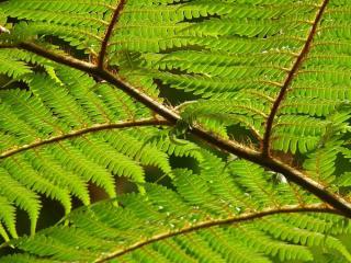 Fougère arborescente - Dicksonia antarctica - culture entretien